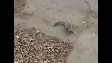 Пияна катерица