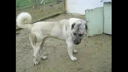 Кангал - Красиви Кучета