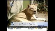 Две бели лъвчета се родиха в зоопарк в Мексико