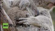 Сладка коала си играе в зоологическата градина в Сан Диего
