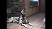 Кучета повтарят това, което чуват - Смях!
