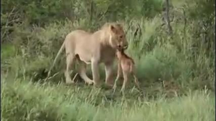 Игра между лъв и антилопа