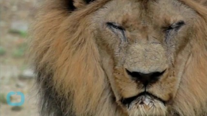 Lion Mauls Female American Tourist In South African Safari Park