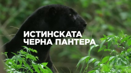 Истинската черна пантера