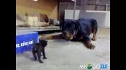 Коте vs Ротвайлер