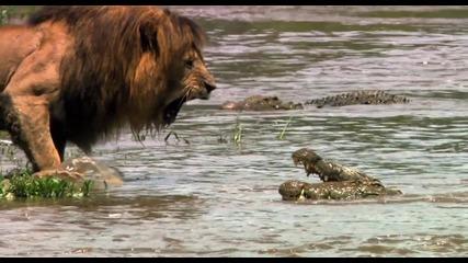 Ето затова лъвът е кралят на джунглата