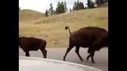В Бъфало бизоните не обичат мотористи