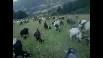 Голямо стадо кози