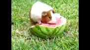 Морско свинче яде цяла диня (мн е сладко )