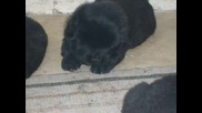 Обява - Продават се кученца - порода Чау - Чау
