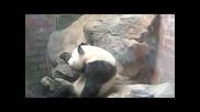 Watch Gangsta panda