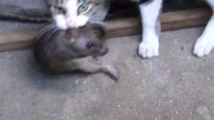 Смела котка се бори с голям плъх