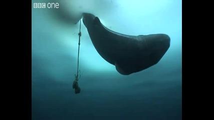 Вижте как се лови Гренландска акула