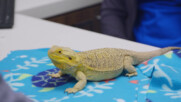 Брадатият дракон Чарлз | Д-р Ти: Тексаски ветеринар | NG WILD