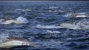 Делфините - ловуването на сардини..