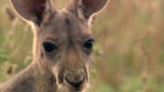 Как червено кенгуру изхранва малките си | Дивата Австралия | NG Wild Bulgaria