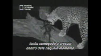 Леопард Защитава Бебе - Маймуна