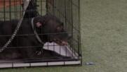 Невъзможни кучета | Изплашеният боксер лабрадор