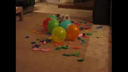 Най - бързото куче на света в пукането на балони