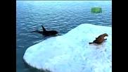 Untamed and Uncut / Orcas Attack Seal ( Високо Качество )