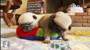 Малки сладки мопсове заспиват!!!