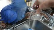 Папагал си взема душ на чешмата , сърди се като му намаляват водата