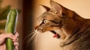 Защо котките се страхуват от краставици? - Много смях