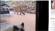Brave House Cat Faces Off Against Mountain Lion