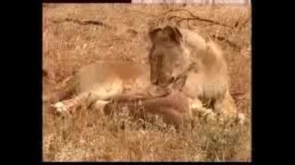 Лъвица осиновява антилопа