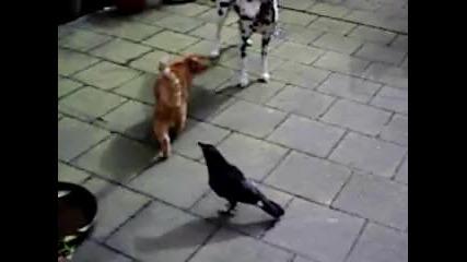 Животинска гоненица с гарга , коте, куче !смях