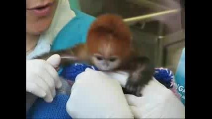 Новородено Маимунче