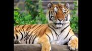 о тигре тигре