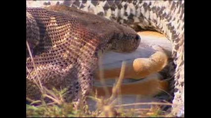 Най - големите змии на планетата