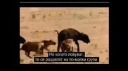 Най - Смъртоносните Животни:хиена