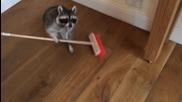 Енот се опитва да измете пода!