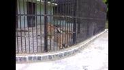 Лъвовете в зоогическата градина в Плевен