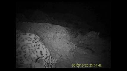 Рядък вид снежен леопард е бил забелязан в Монголия
