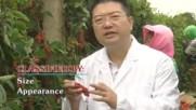 Schisandra chinensis - кратък разказ за растението (на английски)