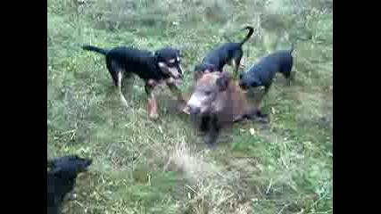 лов на прасе,в вишан