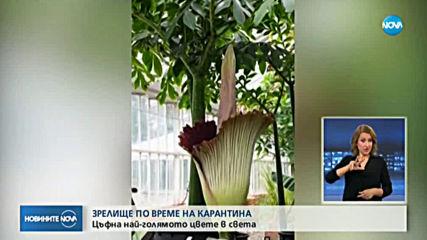 ЗРЕЛИЩЕ ПО ВРЕМЕ НА КАРАНТИНА: Цъфна най-голямото цвете в света