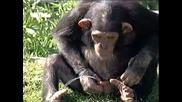 маймуна пикае