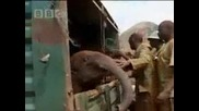 Conservationists release elephants back into wild - Bbc