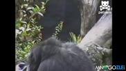 Маймуна си бърка в дупето и припада от миризмата