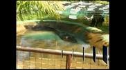 Обявиха крокодил във Филипините за най-големия в света