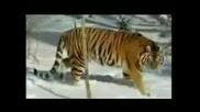 Интересни факти за Сибирският Тигър