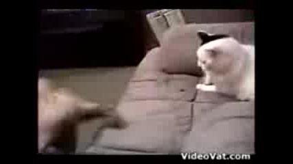 котка срещу куче