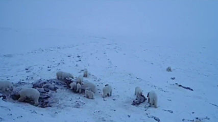 Russia: Dozens of polar bears descend on village in Russia's Far East
