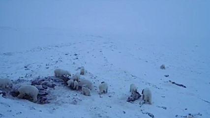 Russia: Dozens of polar bears descend on village in Russia's Far East