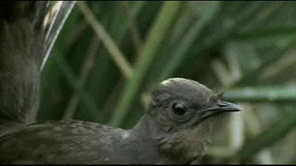 Птицата лира - птицата с една от най-уникалните песни