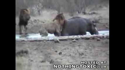 Лъв Се Мачи С Хипопотам